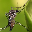 Yellow Fever: Preventing a Return of the Urban Epidemic