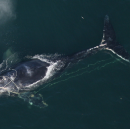 Breaking News: Lawsuit Filed to Help Right Whales