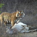 Alleged Cow killing Tiger lynched in Sundarban