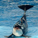 How the anti-captivity movement kills wild cetaceans or the preposterousness of the Whale Sanctuary…