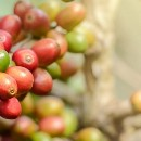 Infographic: Periodic Table of Coffee Varieties or Cultivars