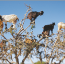 Tree-Climbing Goats Scatter Seeds By Spitting | @GrrlScientist