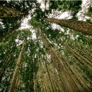 How to Grow a Forest Really, Really Fast