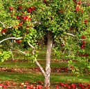 My Vision — An Apple Tree