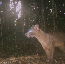 Makira Lessons: Why Do Fosa Eat Soap (Or, Euplerids Are Enigmas)