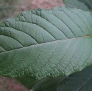 An Open Letter to the Government About Kratom