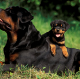 Go to the profile of I Love Rottweiler Puppies