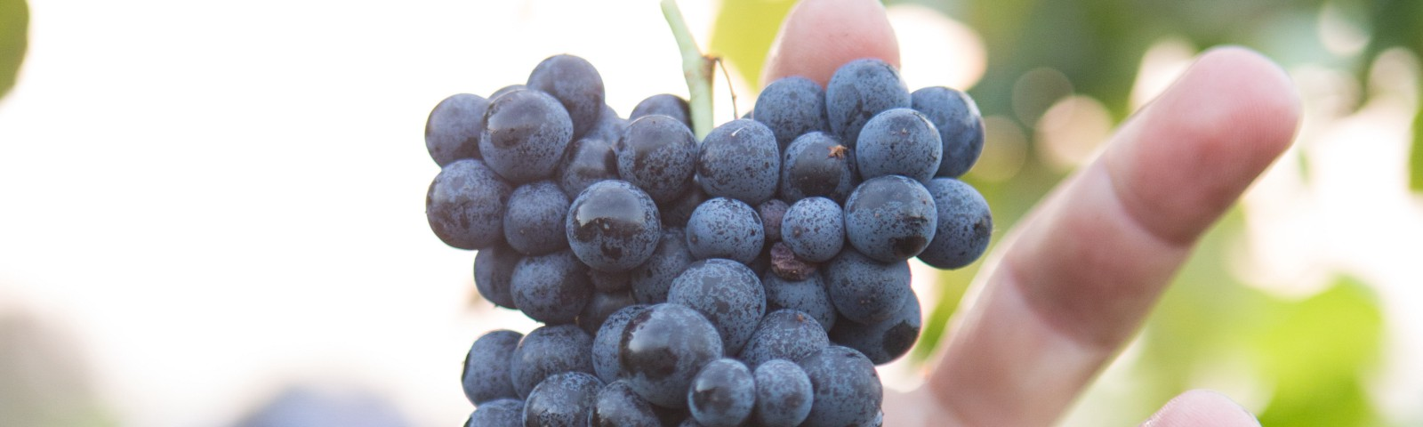 Man reaching for a ripe cluster of grapes.