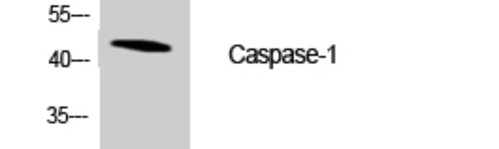 Cleaved-Caspase-1 (D210) Polyclonal Antibody Released