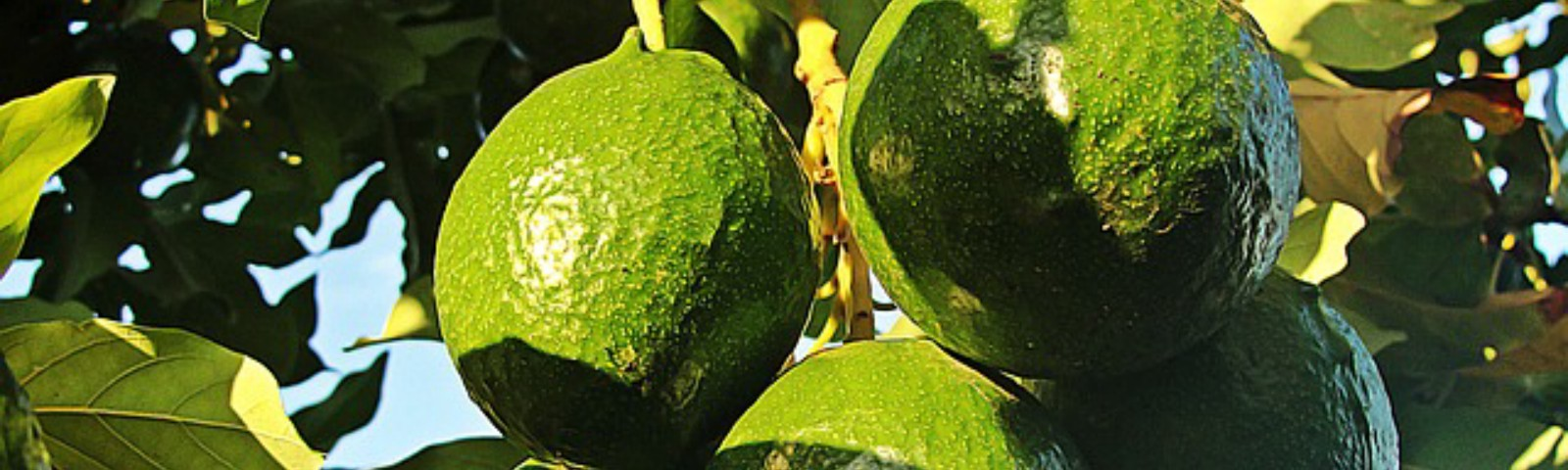 avocado-fruit-tree-and-seed