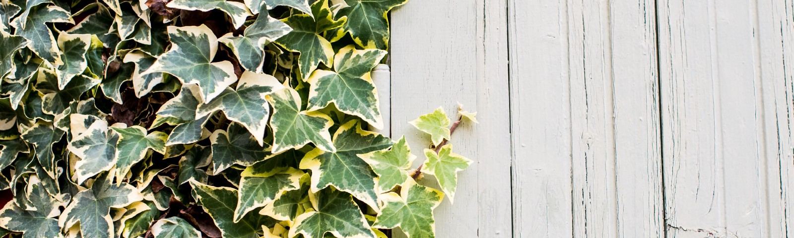 Green ivy leaves covering up half of a bleached white wall. Contrasts.