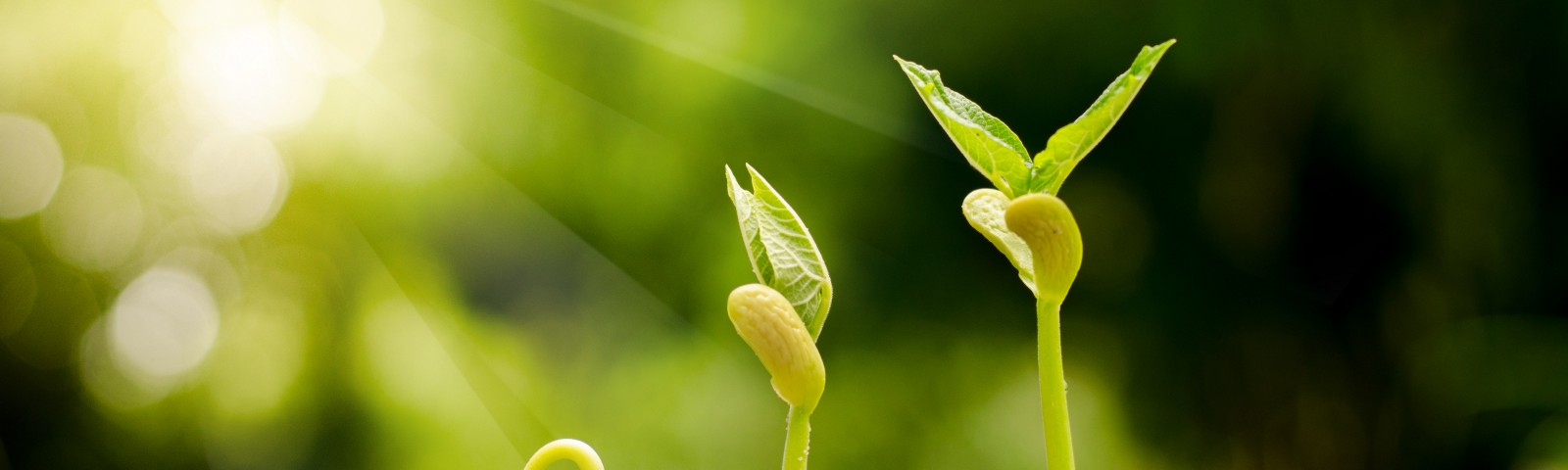 Germinating seed to sprout of nut in agriculture and plant grow sequence with sunlight and green background — Image