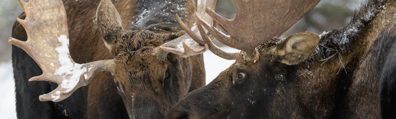 Two bull moose with their heads close together and antlers almost touching.