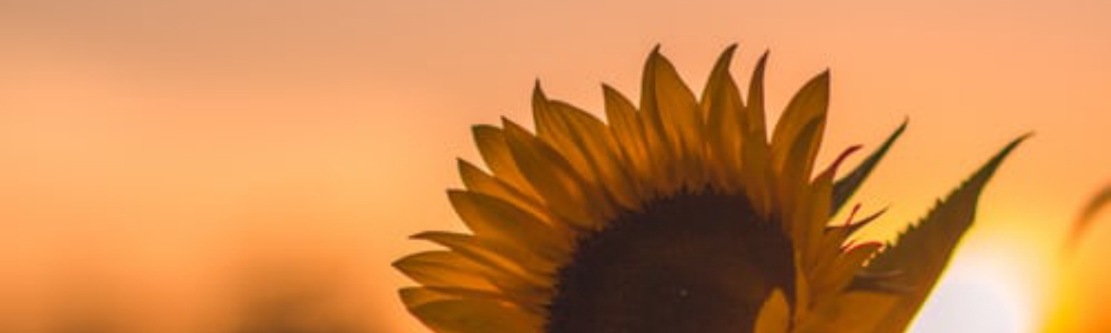 A yellow sunflower standing tall, with the orange glow of the setting sun as a background.