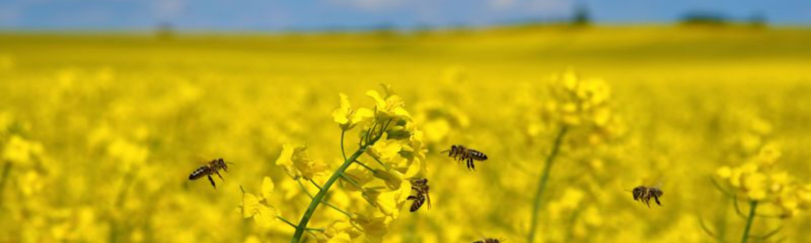 A view of a large, yellow, field of oilseed rape. In the foreground five honey bees fly around a stalk.