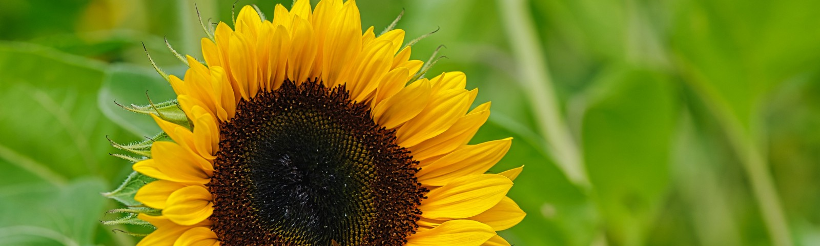 A large sunflower with a bee inside.