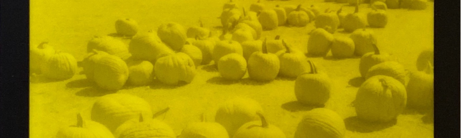 Yellow and black polaroid photo of a field of pumpkins
