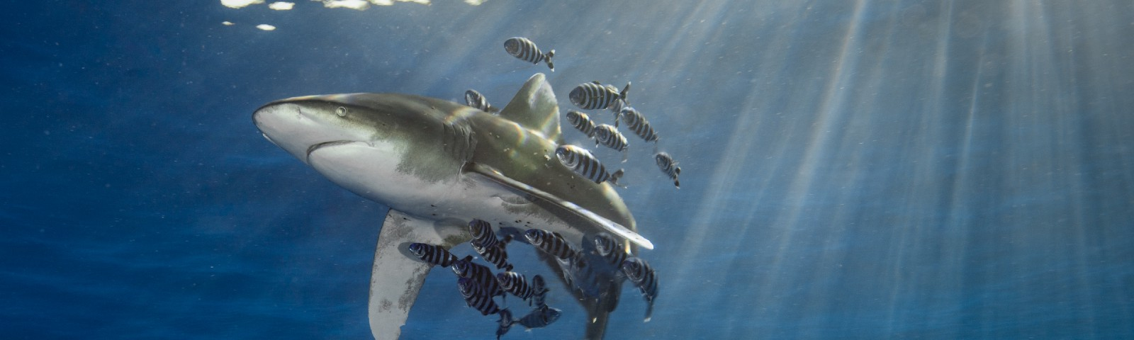 Oceanic whitetip shark with pilot fish and sunbeams