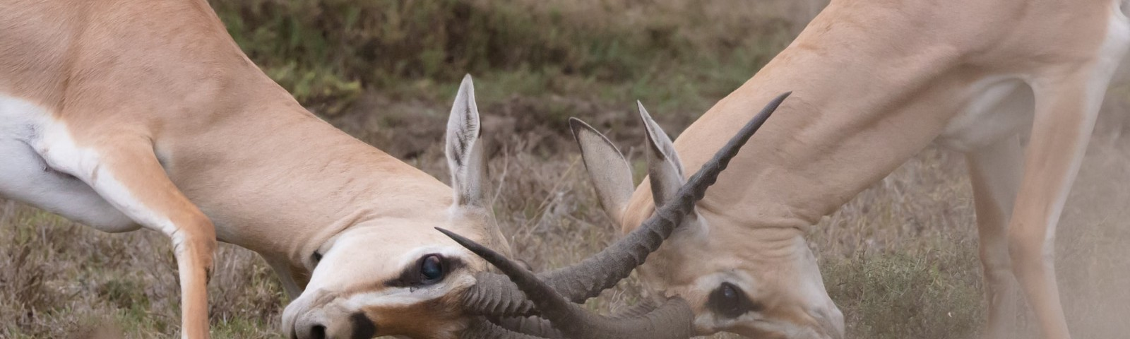 Two antelope butting heads with interlocked antlers.