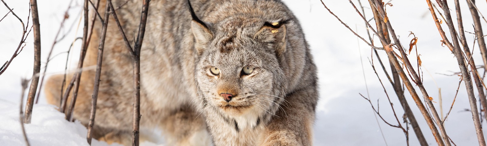 Canada lynx with large paws walking on atop snowy landscape