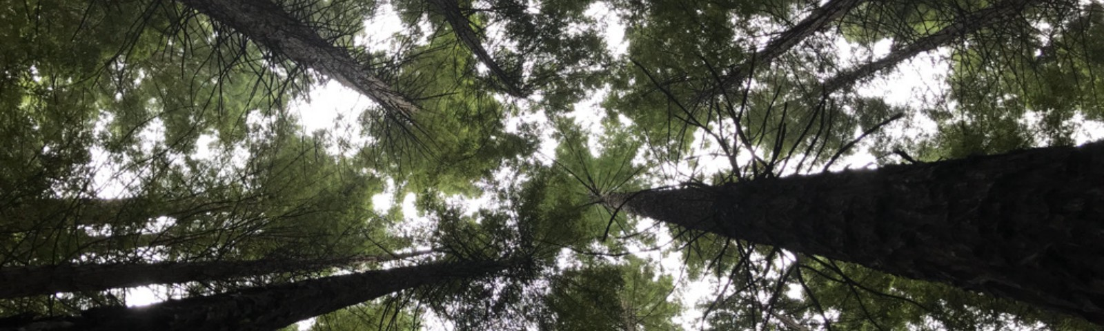Looking up through the canopy of western red cedars to the sky beyond