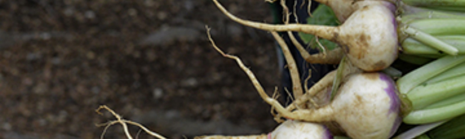 Bunches of turnips tied with large rubber bands. Muddy ground in background.