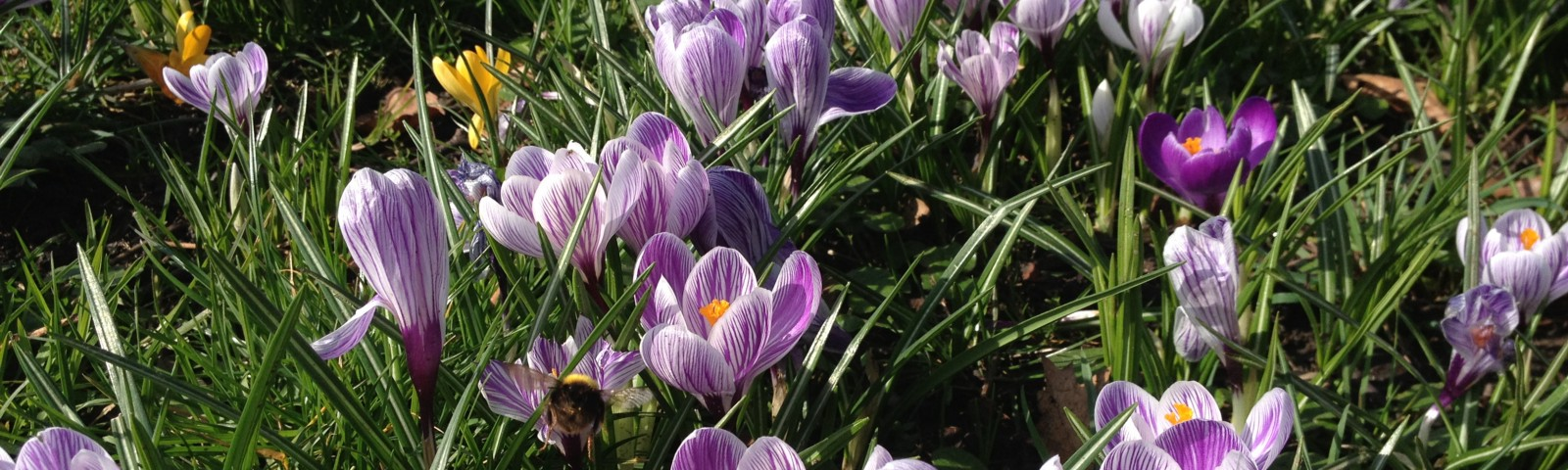 Close up shot of crocuses growing in green grass with a bee flying amongst them