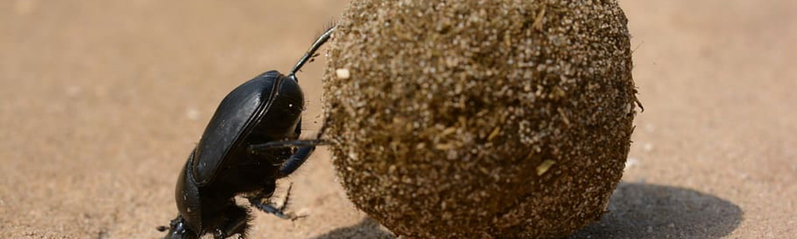 A dung beetle pushing a big ball of poo.