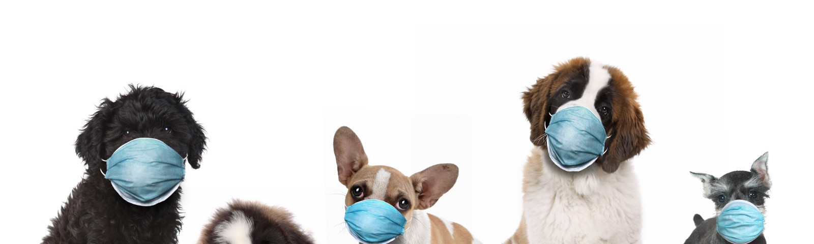 Five dogs wearing face masks