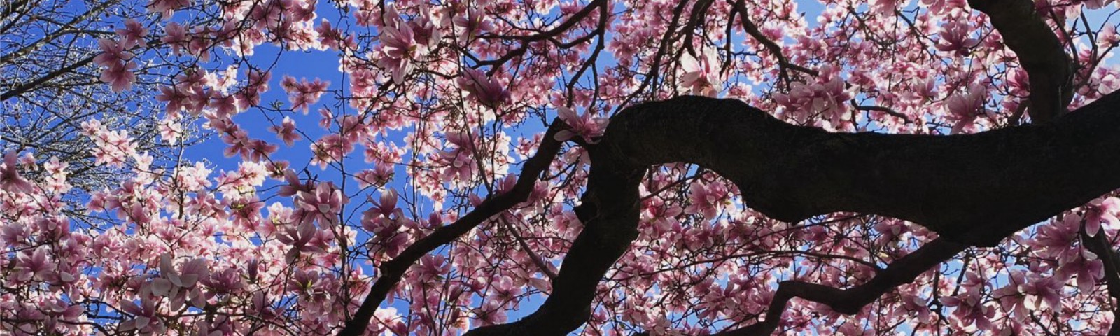 A blossoming tree