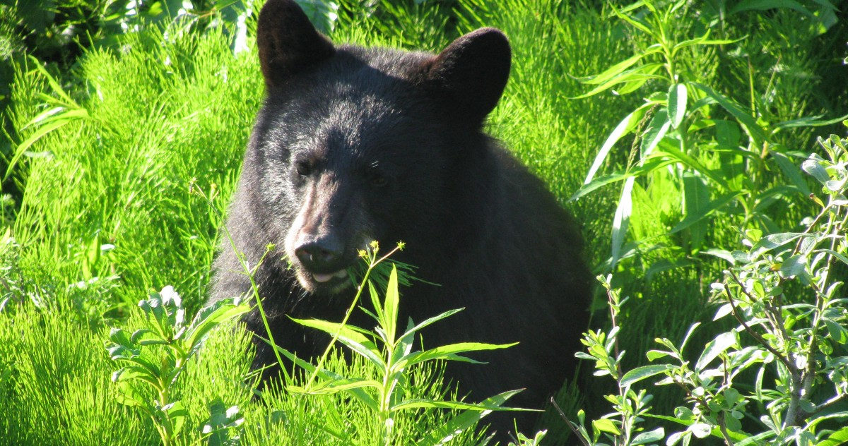 photo image The NRA just persuaded Congress to legalize the killing of bear cubs in wildlife refuges