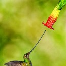 Hummingbird (Chim ruồi) – Part 2