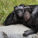 9 Reasons Bonobos Are Our New Feminist Role Models