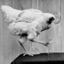 This Chicken Lived For 18 Months Without A Head