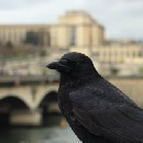 How City Birds Evolved to Be Smarter Than Rural Birds