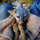 Back from the brink: The remarkable recovery of California's island foxes
