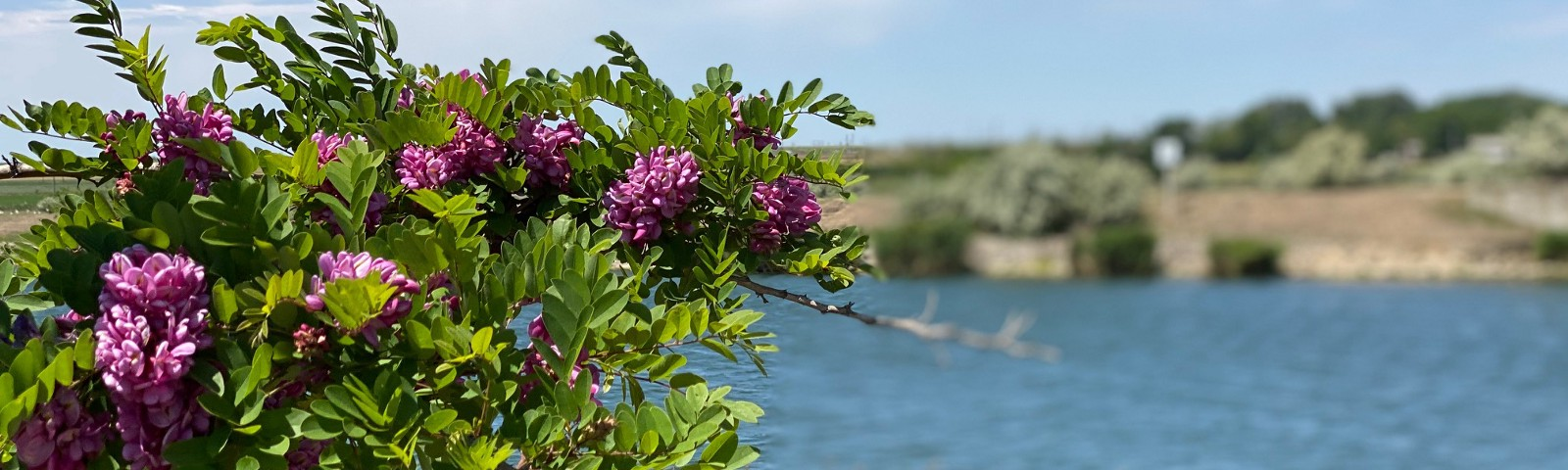 magenta flowers on a side of a river channel in a sunny day and blue sky