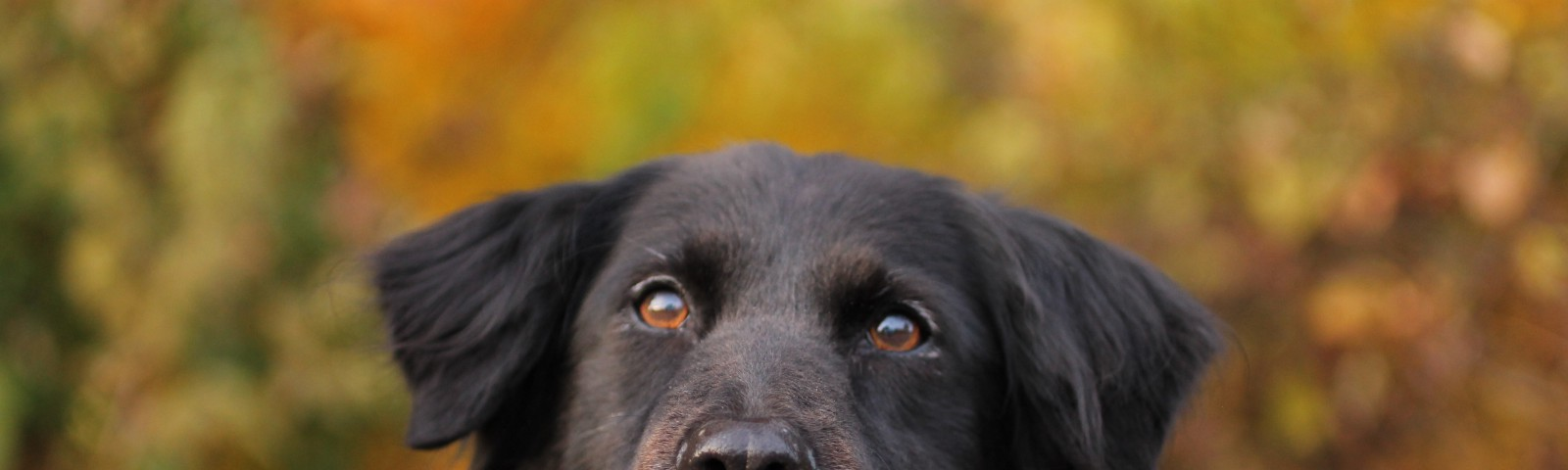 A black dog facing forward with their mouth slightly open with an orange and green blurry fall background.