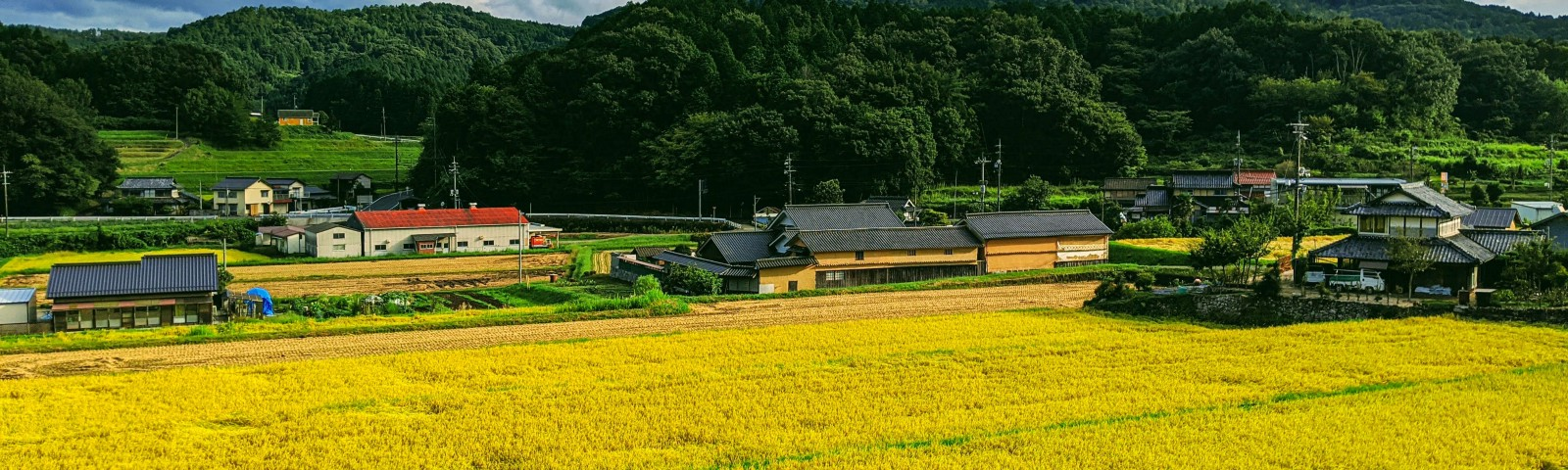 A ripe rice fields ready to be harvested in the countryside of Japan