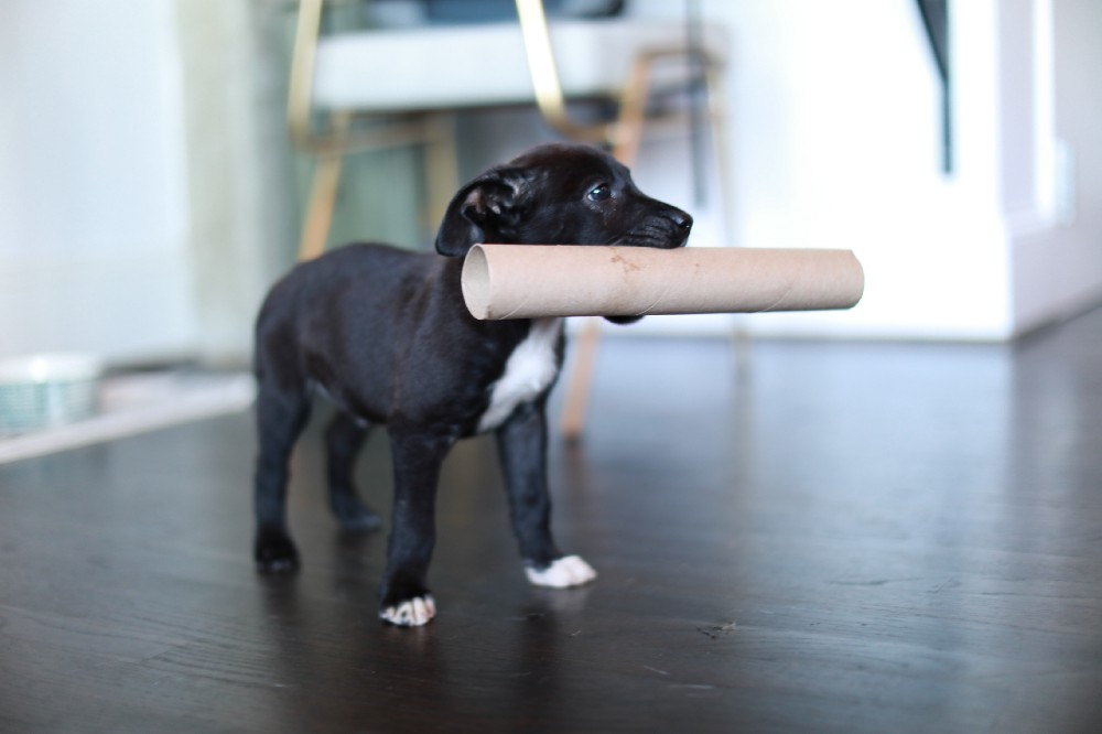 A Labrador retriever carrying a paper towel roll in their mouth in a living room.