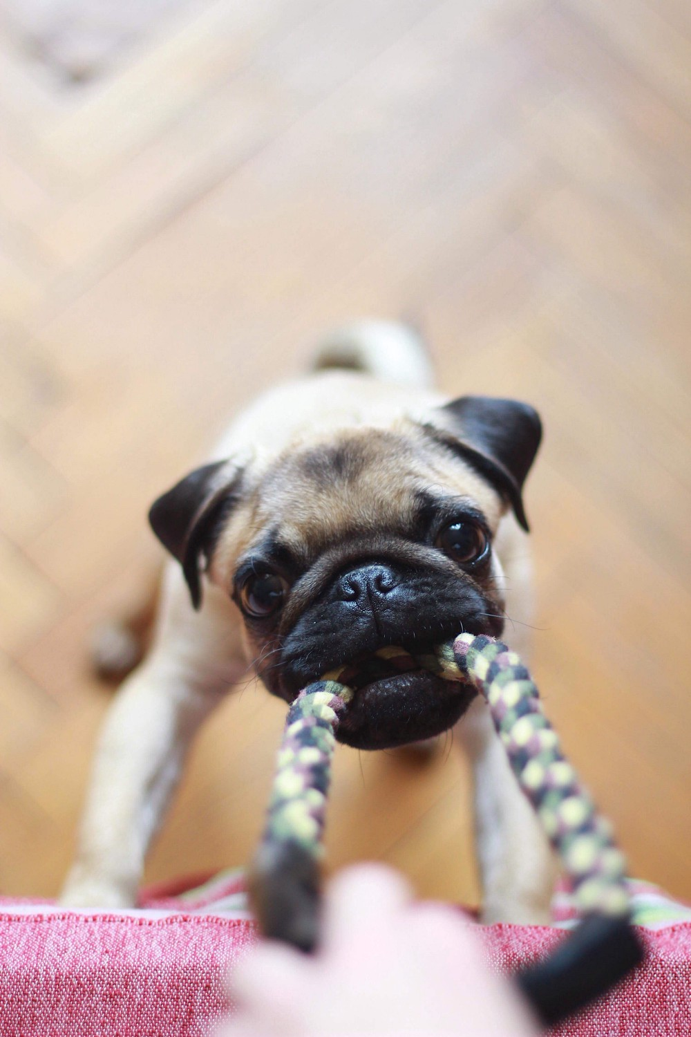 A pug puppy tugging on a colorful bag handle.