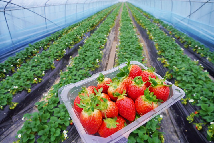 Management of strawberry plant