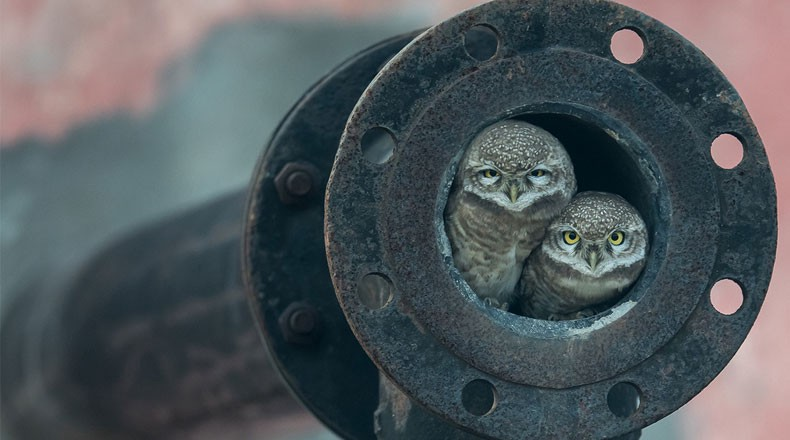Award winning picture of two owlets peeping out from old pipe.