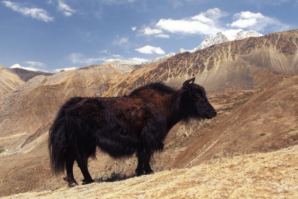 A Yak waiting to climb one of the Himalayan Peaks.