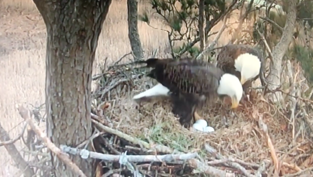Join the journey with bald eagle cams fish and wildlife service join the journey with bald eagle cams fish and wildlife service news medium sciox Image collections