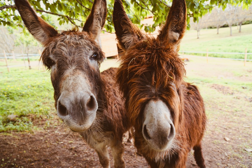 Two donkeys stand next to each other and look at the camera. There is a grassy field behind them.