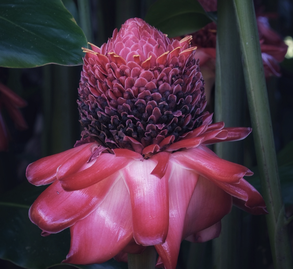 Photo of a Torch Ginger by Jules Kremer