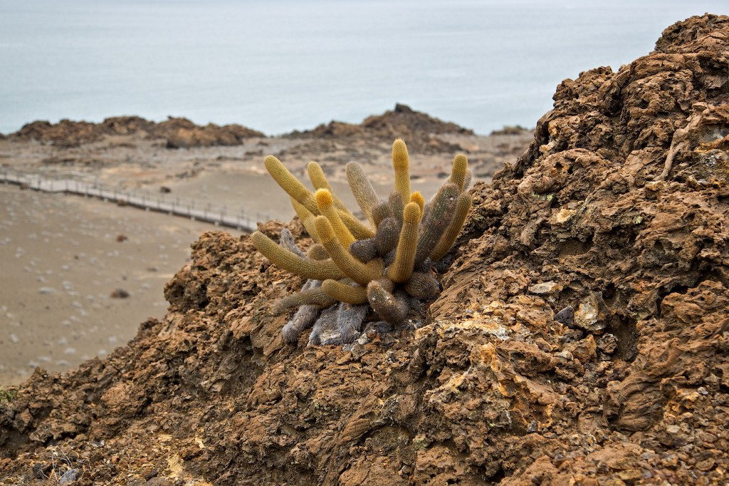 Photos Of The Galápagos Image: A yellow-tinged lava cactus clings to a stony mass.