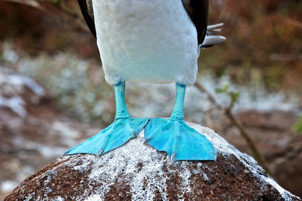 "Photos Of The Galápagos Image: A close-up of the aptly named ""blue-footed booby's"" famous feet."