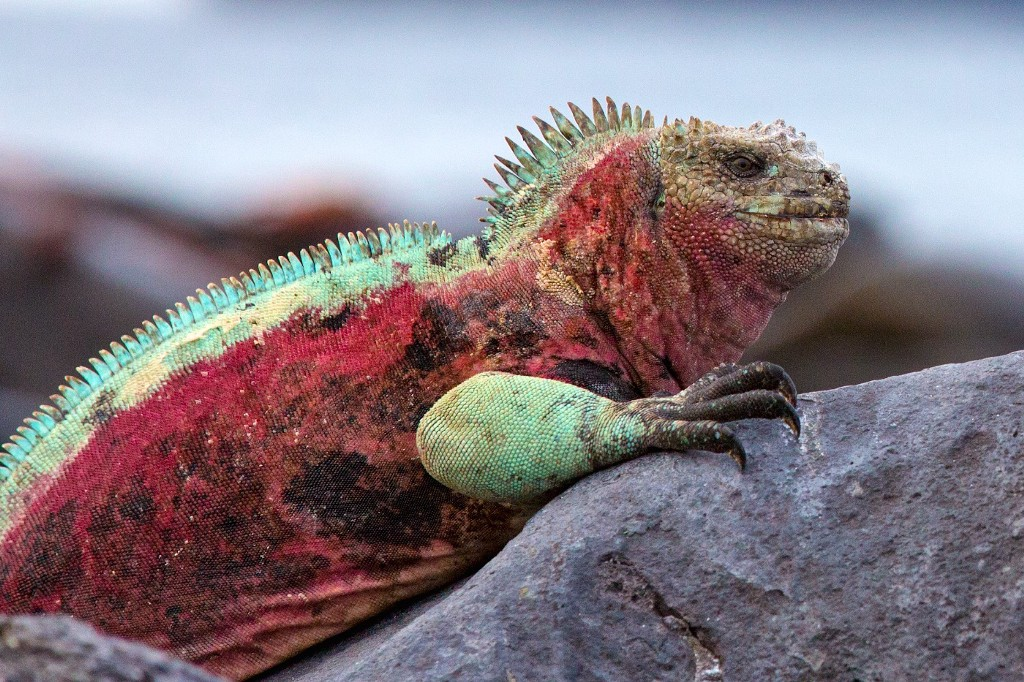 Photos Of The Galápagos Image: A vibrant iguana in shades ot turquoise, orange, and red sits on a rock.